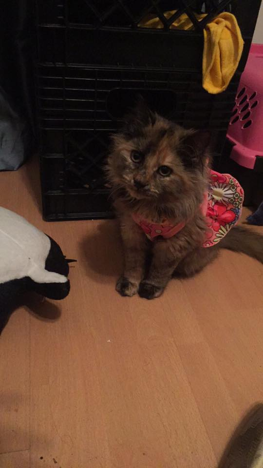 brown longhaired maine coone kitten wearing a pink flower dress